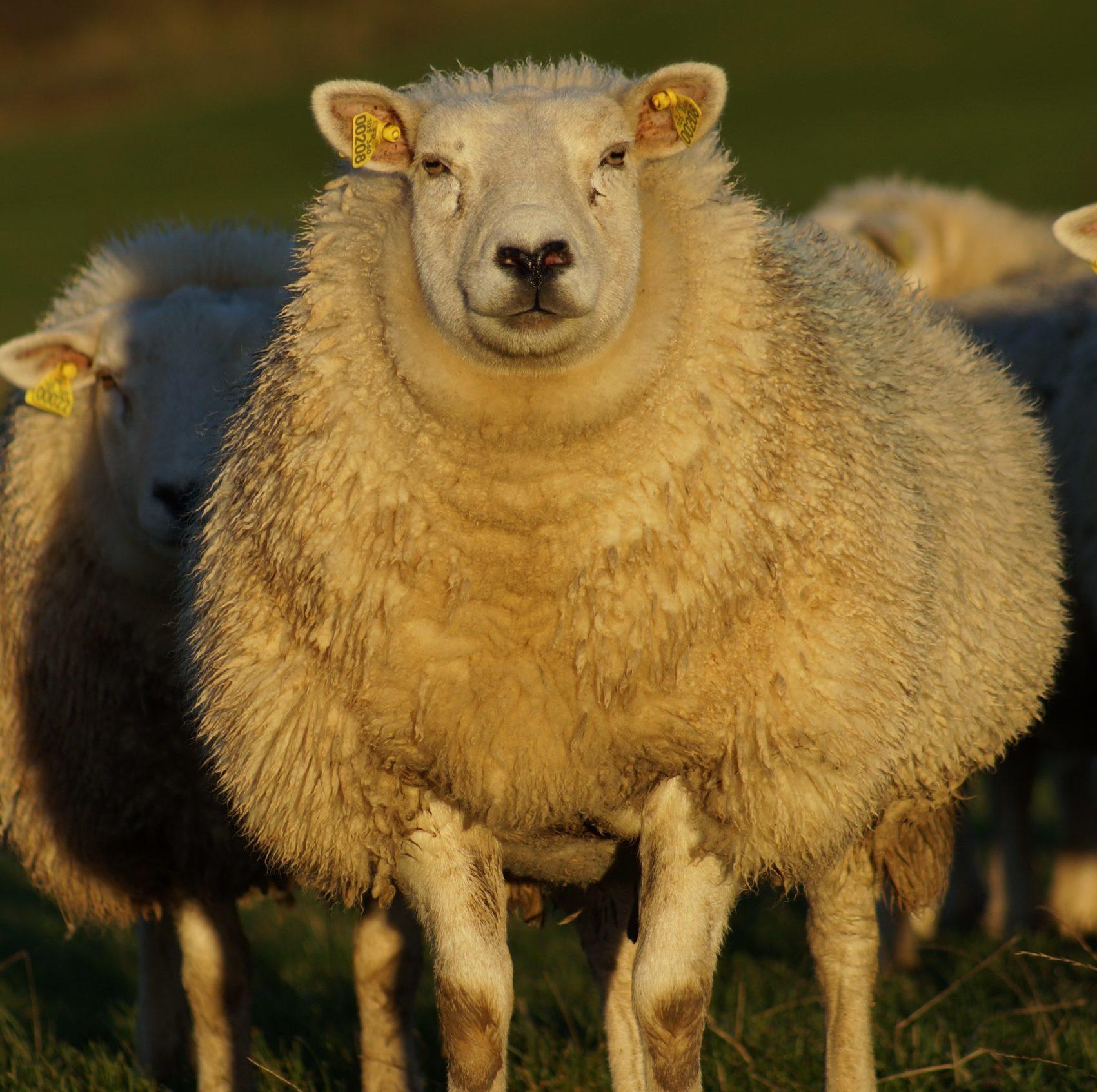 Mouton race Texel